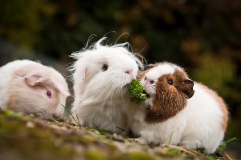 Guinea pigs eating leafy greens