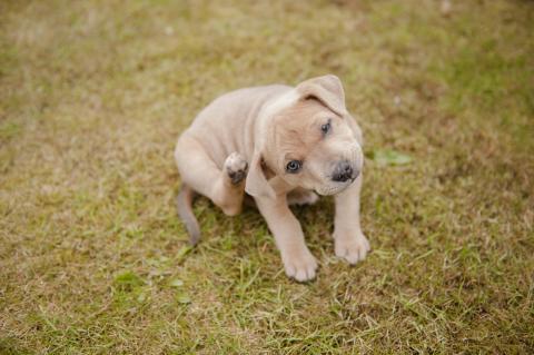Ear mites in dogs | Treatment & Symptoms | Blue Cross