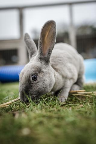 Myxomatosis   Symptoms in Rabbits   Blue Cross