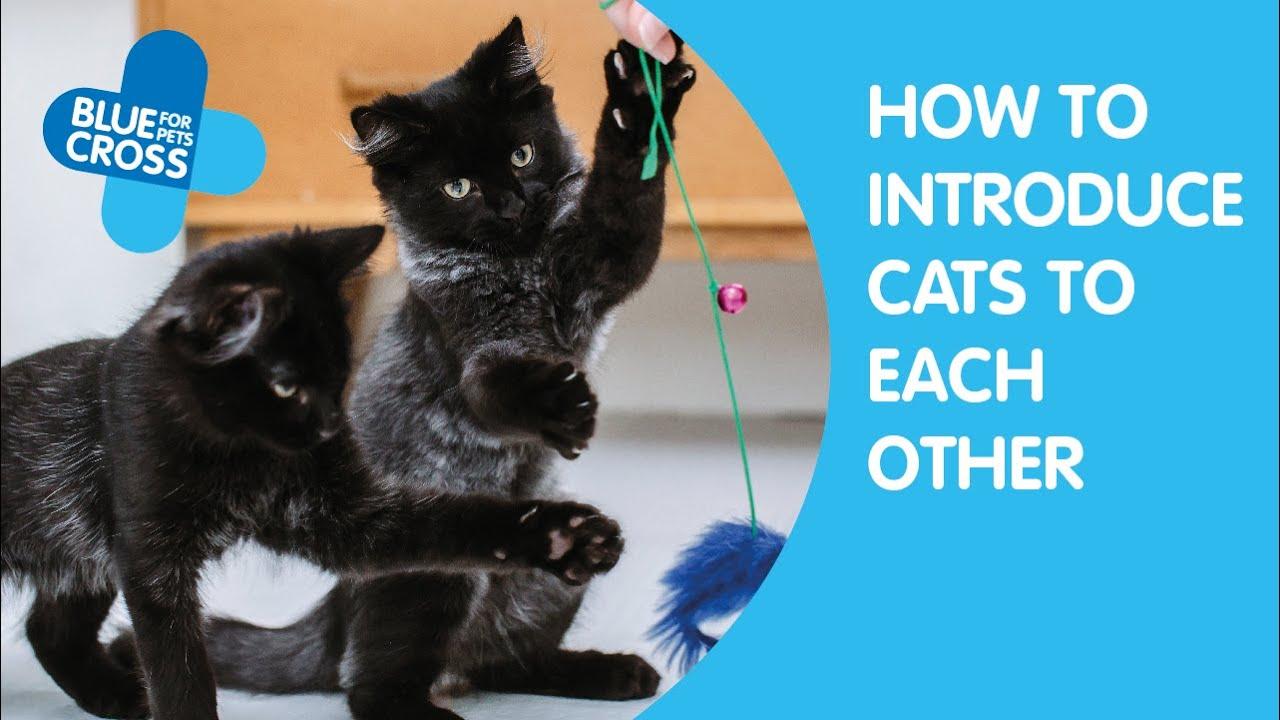 Introducing cats   Bringing a new cat home   Blue Cross